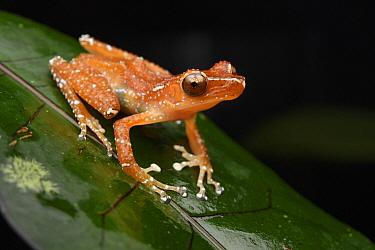 Painted Indonesian Treefrog (Nyctixalus pictus), Lundu, Sarawak, Malaysia