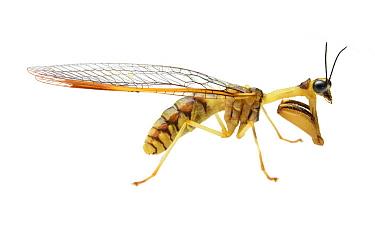 Mantis Fly (Mantispidae), Pulong Tau National Park, Sarawak, Malaysia