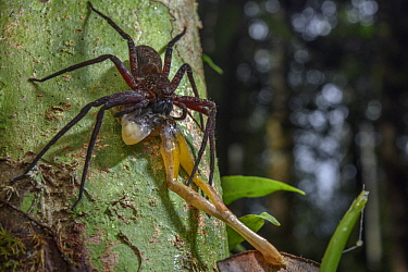 Giant Crab Spider (Sparassidae) feeding on tree frog prey, Digul River, Papua, Indonesia