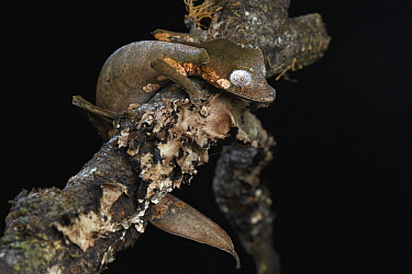 Fantastic Leaf-tail Gecko (Uroplatus phantasticus), Andasibe, Madagascar