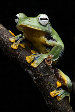 Bornean Smaller Flying Frog (Rhacophorus borneensis), Kubah National Park, Sarawak, Malaysia