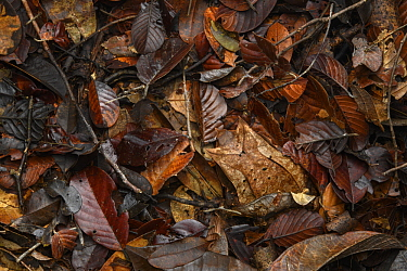 Asian Horned Frog (Megophrys nasuta) female and Matang Narrow-mouthed Frog (Microhyla nepenthicola) camouflaged in leaf litter, Kubah National Park, Sarawak, Malaysia