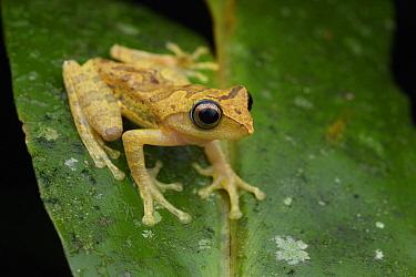 Masked Treefrog (Rhacophorus angulirostris) male, Kinabalu National Park, Sabah, Malaysia