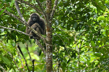 Muller's Bornean Gibbon (Hylobates muelleri), Tawau Hills Park, Sabah, Malaysia