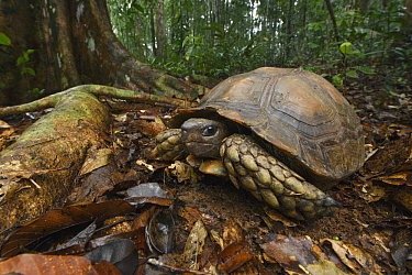 Asian Brown Tortoise (Manouria emys) male in rainforest, Tawau Hills Park, Sabah, Malaysia
