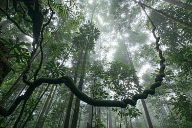 Liana in rainforest, Tawau Hills Park, Sabah, Malaysia