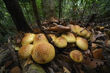Honey Fungus (Armillaria sp) mushrooms in rainforest, Maliau Basin, Sabah, Malaysia