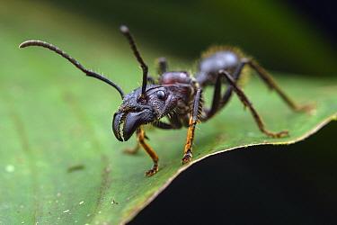 Bullet Ant (Paraponera clavata), El Coca, Ecuador