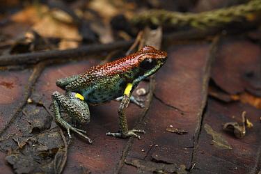 Ecuador Poison Frog (Epipedobates bilinguis), El Coca, Ecuador
