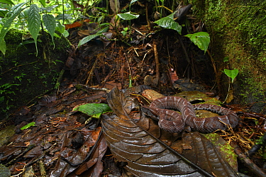 Ecuadorian Toad-headed Pit-viper (Bothrocophias campbelli) in rainforest, Mashpi Amagusa Reserve, Pichincha, Ecuador