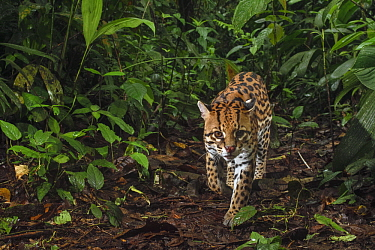 Ocelot (Leopardus pardalis) male in cloud forest, Mashpi Amagusa Reserve, Pichincha, Ecuador