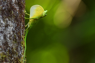 Boulenger's Green Anole (Anolis chloris) male in territorial display, Utria National Park, Colombia