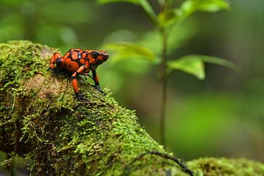 Harlequin Poison Dart Frog (Dendrobates histrionicus), Utria National Park, Colombia