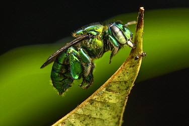Orchid Bee (Euglossa sp) sleeping by biting leaf, Utria National Park, Colombia