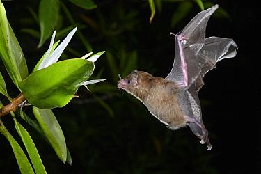 Pallas' Long-tongued Bat (Glossophaga soricina) approaching Tea Mangrove (Pelliciera rhizophorae) flower at night, Utria National Park, Colombia