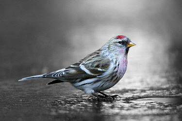 Common Redpoll (Carduelis flammea) at hole in ice to drink, Netherlands