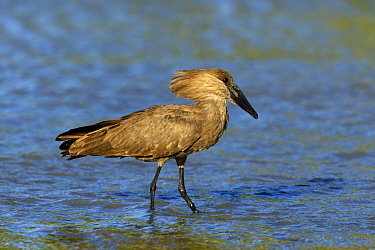 Hamerkop (Scopus umbretta), Western Cape, South Africa