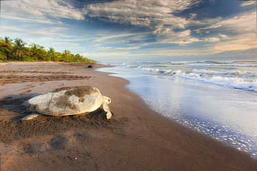 Olive Ridley Sea Turtle (Lepidochelys olivacea) female returning to sea after laying eggs, Ostional Beach, Costa Rica