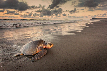 Olive Ridley Sea Turtle (Lepidochelys olivacea) female coming ashore to lay eggs, Ostional Beach, Costa Rica