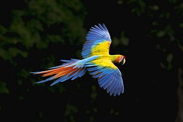 Scarlet Macaw (Ara macao) and Great Green Macaw (Ara ambigua) hybrid flying, Costa Rica