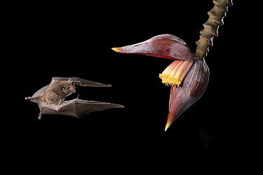 Pallas' Long-tongued Bat (Glossophaga soricina) feeding on flower nectar at night, Costa Rica