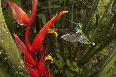Purple-bibbed Whitetip (Urosticte benjamini) hummingbird feeding on Heliconia (Heliconia sp) flower nectar, Ecuador