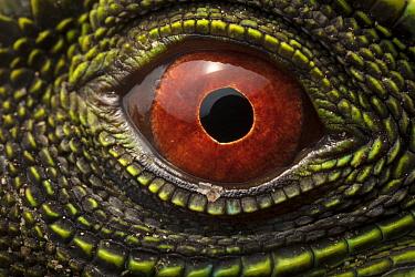 O'Shaughnessy's Dwarf Iguana (Enyalioides oshaughnessyi) eye, Ecuador