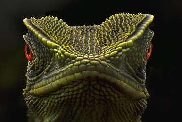 O'Shaughnessy's Dwarf Iguana (Enyalioides oshaughnessyi), Ecuador