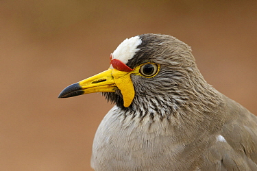 Wattled Lapwing (Vanellus senegallus), Western Cape, South Africa