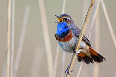 White-spotted Bluethroat (Luscinia svecica cyanecula) male calling, Netherlands