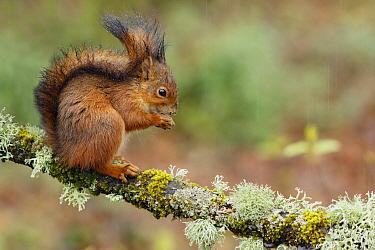 Eurasian Red Squirrel (Sciurus vulgaris) feeding, Asturias, Spain