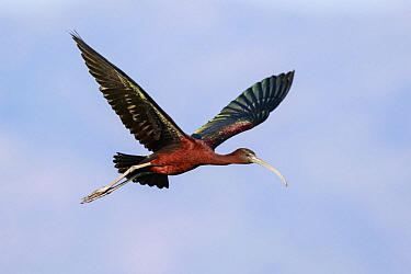 Glossy Ibis (Plegadis falcinellus) flying, Lesvos, Greece