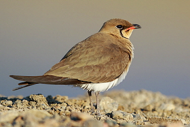 Collared Pratincole (Glareola pratincola), Lesvos, Greece