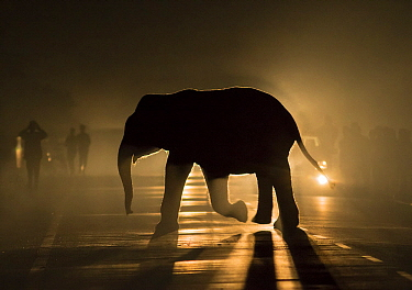 Asian Elephant (Elephas maximus) juvenile crossing road at night in headlight of car watched by people on the road, West Bengal, India
