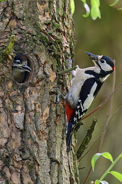 Great Spotted Woodpecker (Dendrocopos major) father with juvenile in nest cavity, North Rhine-Westphalia, Germany