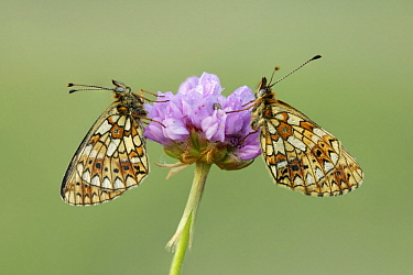Small Pearl-bordered Fritillary (Boloria selene) butterflies, Netherlands