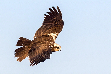 Western Marsh-Harrier (Circus aeruginosus) female flying, Castile-La Mancha, Spain