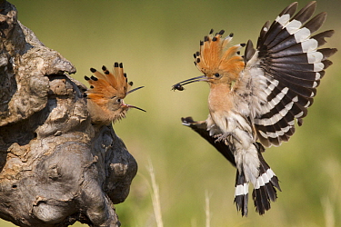 Eurasian Hoopoe (Upupa epops) parent bringing food to begging chick in nest cavity, Serbia