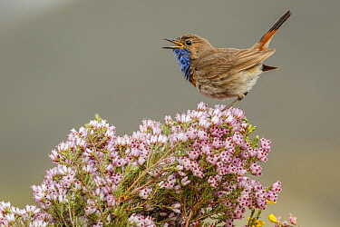 Bluethroat (Luscinia svecica) male calling, Castile-Leon, Spain
