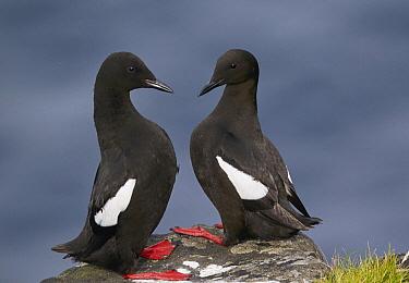 Black Guillemot (Cepphus grylle) pair, Kalsoy, Faroe Islands