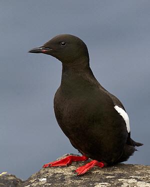 Black Guillemot (Cepphus grylle), Kalsoy, Faroe Islands