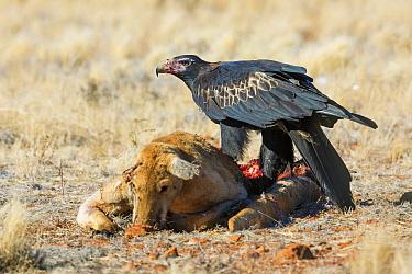 Wedge-tailed Eagle (Aquila audax) feeding on Red Kangaroo (Macropus rufus) carcass, South Australia, Australia