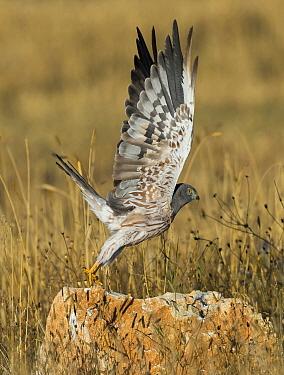 Montagu's Harrier (Circus pygargus) male taking flight, France