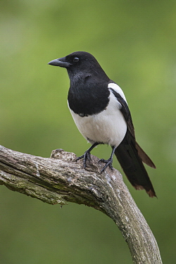 European Magpie (Pica pica), Netherlands