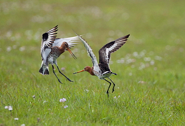 Black-tailed Godwit (Limosa limosa) males in territorial fight, Netherlands