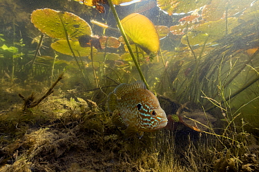 Pumpkinseed (Lepomis gibbosus) under water lilies, Netherlands