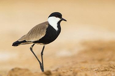 Spur-winged Plover (Vanellus spinosus), Israel