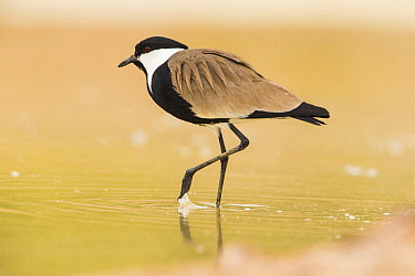 Spur-winged Plover (Vanellus spinosus) wading, Israel