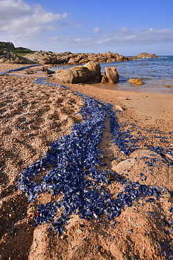 By-the-wind Sailor (Velella velella) group stranded on beach, Corsica, France