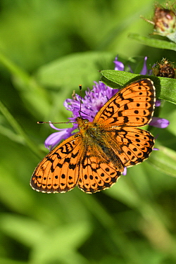 Lesser Marbled Fritillary (Brenthis ino) butterfly, Germany